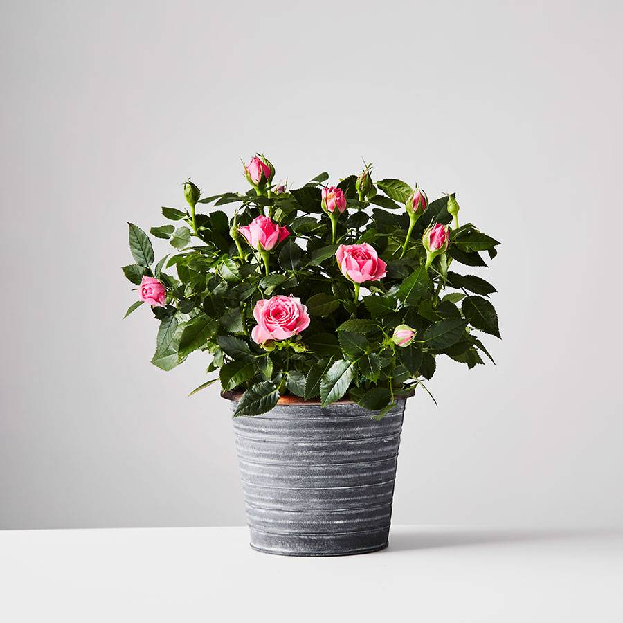 """<h3><a href=""""https://www.plants.com/c/mothersday-plants"""" rel=""""nofollow noopener"""" target=""""_blank"""" data-ylk=""""slk:Plants.com: Mother's Day Shop"""" class=""""link rapid-noclick-resp"""">Plants.com: Mother's Day Shop</a></h3> <br>You'll have to pay a pretty penny ($20 for expedited shipping by or before this Saturday) but Plants.com is offering delivery of its most popular plants in time for the big day. There's also a 15% off code you can use on checkout to sweeten the deal: PLANTS15<br><br><strong>Plants.com</strong> Rose Plant, $, available at <a href=""""https://go.skimresources.com/?id=30283X879131&url=https%3A%2F%2Fwww.plants.com%2Fp%2Fpink-rose-plant-177033%3Fc%3Dmothersday-plants"""" rel=""""nofollow noopener"""" target=""""_blank"""" data-ylk=""""slk:Plants.com"""" class=""""link rapid-noclick-resp"""">Plants.com</a><br>"""