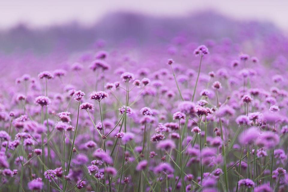"""<p>Commonly used by herbalists to combat depression and mood swings, verbena is a long-lasting plant that also's perfect for attracting <a href=""""https://www.housebeautiful.com/uk/garden/a36187095/birds-wildlife-iolo-williams-homebase/"""" rel=""""nofollow noopener"""" target=""""_blank"""" data-ylk=""""slk:wildlife"""" class=""""link rapid-noclick-resp"""">wildlife</a> into your outdoor space. <br></p><p>Speaking about plants for wildlife, Squire's Garden Centre say: 'The gentle buzzing of bees can bring a sense of calm, and listening to bird song is soothing and uplifting.'</p><p><a class=""""link rapid-noclick-resp"""" href=""""https://www.waitrosegarden.com/plants/_/verbena-bonariensis/classid.2000010879/"""" rel=""""nofollow noopener"""" target=""""_blank"""" data-ylk=""""slk:BUY NOW VIA WAITROSE GARDEN"""">BUY NOW VIA WAITROSE GARDEN</a></p>"""