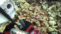 """In this Sept. 13, 2019, image taken from video provided by Arizona State University's Center for Global Discovery and Conservation Science, ecologist Greg Asner prepares a camera fish trap on a coral reef in Papa Bay near Captain Cook, Hawaii. """"Nearly every species that we monitor has at least some bleaching,"""" Asner said. (Greg Asner/Arizona State University's Center for Global Discovery and Conservation Science via AP)"""