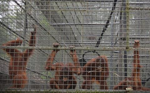 Orangutans at the Orangutan Rehabilitation Centre in Nyaru Menten are believed to have contracted mild respiratory infections - Credit: BORNEO ORANGUTAN SURVIVAL FOUNDATION / AFP