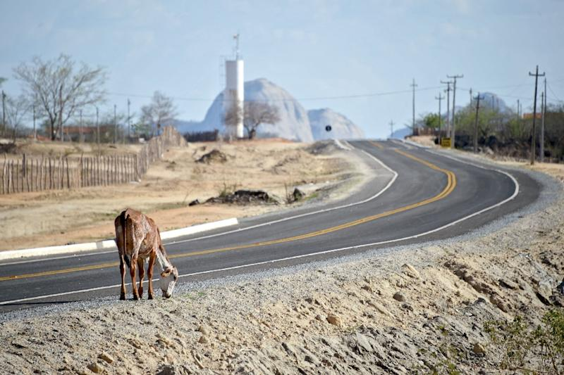 A calf searches for food on the side of a road in the rural area of Quixeramobim, in Ceara State, northeast Brazil on February 8, 2017, during the region's worst drought in a century (AFP Photo/Evaristo SA)