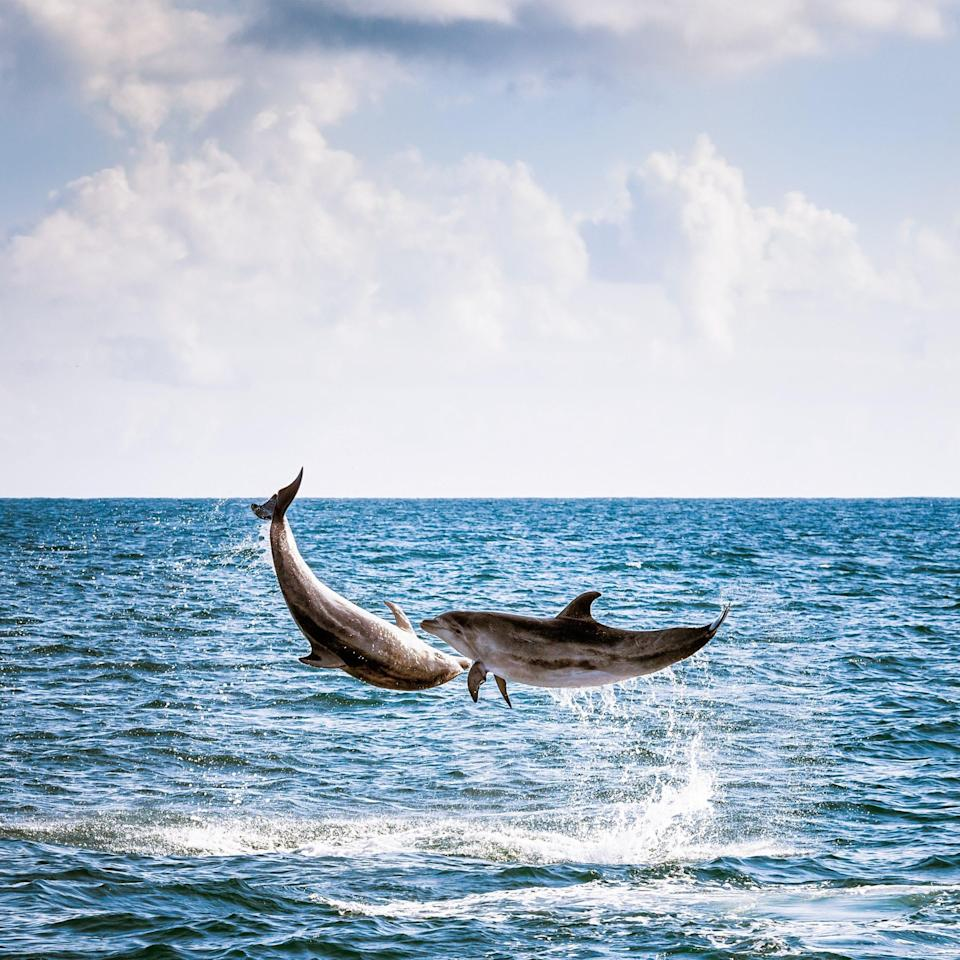Two dolphins leaping into the air in the Bay of Islands, off New Zealand's Northland coast. - Getty Images Contributor