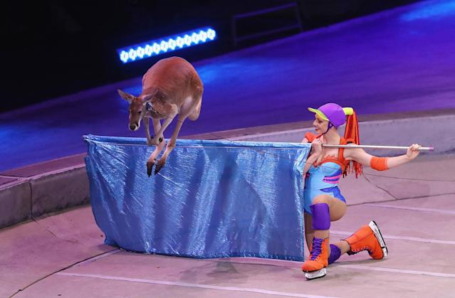 "<p>A kangaroo performs on the final day of the Ringling Bros Barnum and Bailey Circus on May 21, 2017 in Uniondale, New York. Known as ""The Greatest Show on Earth"", the circus performed its final act after a 146 year run. (Bruce Bennett/Getty Images) </p>"
