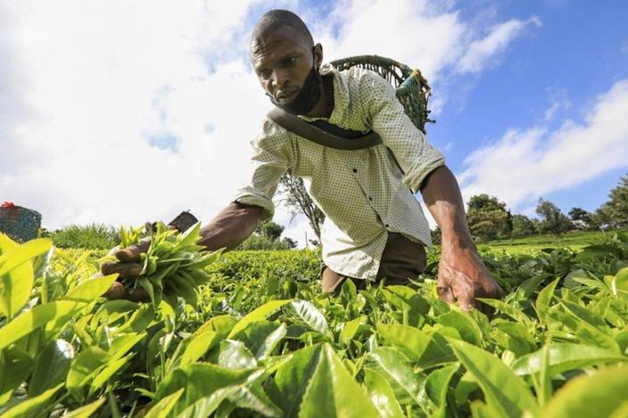 A man carrying a basket on his back picks tea leaves.