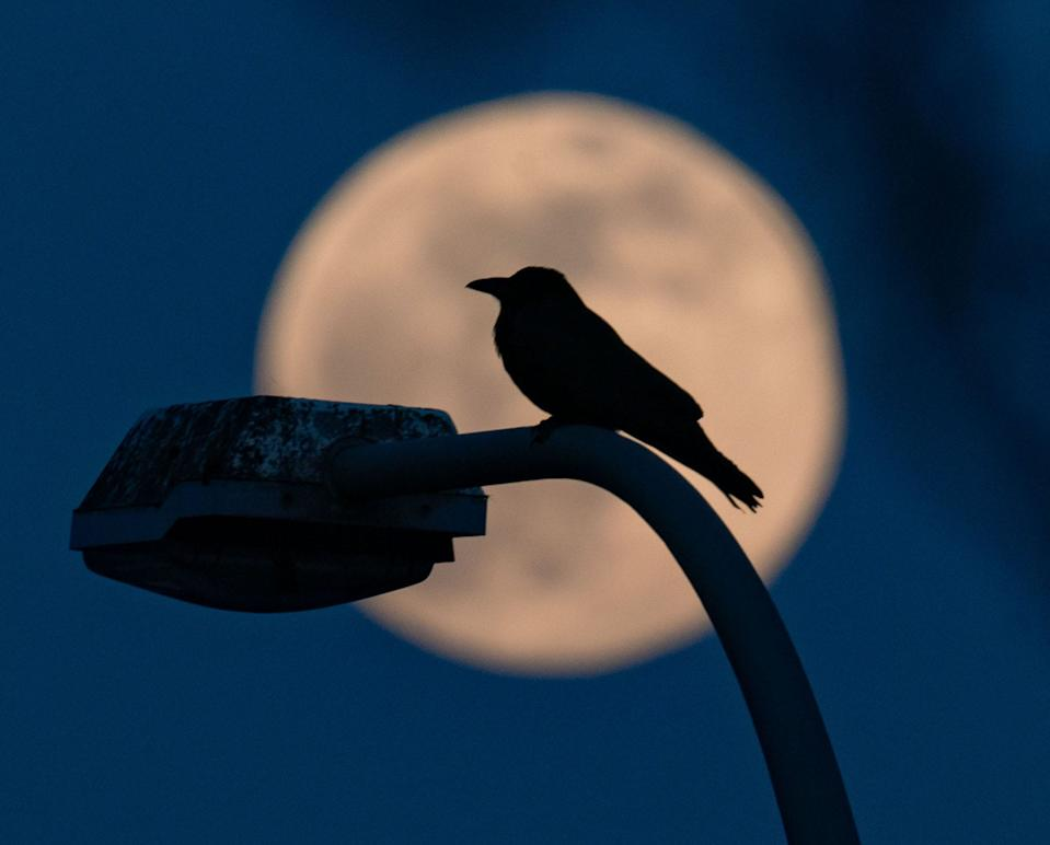 supermoon with bird