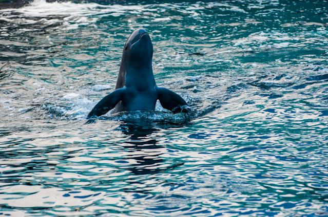 <em>Tricks – the study found that dolphins can learn tricks in captivity then teach them to other dolphins in the wild (Picture: Getty)</em>