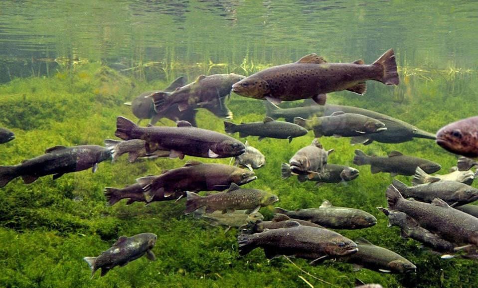 """<span class=""""caption"""">River fish like trout swim close to the river surface as water temperatures rise.</span> <span class=""""attribution""""><span class=""""source"""">(Shutterstock)</span></span>"""
