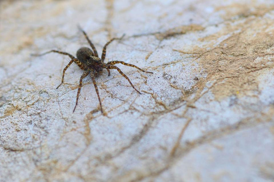 """<p><strong>What it looks like</strong>: Wolf spiders are hunting spiders—and can be pretty big, up to an inch and a half long, Marc Potzler, a board-certified entomologist and technical services manager with <a href=""""http://www.jcehrlich.com/"""" rel=""""nofollow noopener"""" target=""""_blank"""" data-ylk=""""slk:Ehrlich Pest Control"""" class=""""link rapid-noclick-resp"""">Ehrlich Pest Control</a> recently <a href=""""https://www.prevention.com/health/g29022991/common-house-spiders/"""" rel=""""nofollow noopener"""" target=""""_blank"""" data-ylk=""""slk:told Prevention.com"""" class=""""link rapid-noclick-resp"""">told Prevention.com</a>. They are usually black, gray, or brown, and have a hairy appearance. </p><p><strong>Where you'll find them</strong>: After mating in the fall, female wolf spiders look for protected areas to produce their <a href=""""https://www.prevention.com/life/a33533075/spider-eggs/"""" rel=""""nofollow noopener"""" target=""""_blank"""" data-ylk=""""slk:egg cocoons"""" class=""""link rapid-noclick-resp"""">egg cocoons</a>. You'll find them under and between boards, stones, firewood, and siding, most commonly in basements, sheds, or garages where other insects are, says Potzler. </p><p><strong>Can it harm you? </strong>Wolf spiders <em>can</em> bite, but only if they feel threatened. """"They would <a href=""""https://www.prevention.com/health/a29109758/spider-bite-pictures-symptoms/"""" rel=""""nofollow noopener"""" target=""""_blank"""" data-ylk=""""slk:prefer to hide than bite"""" class=""""link rapid-noclick-resp"""">prefer to hide than bite</a>,"""" according to <a href=""""https://www.canr.msu.edu/people/howard_russell"""" rel=""""nofollow noopener"""" target=""""_blank"""" data-ylk=""""slk:Howard Russell, M.S."""" class=""""link rapid-noclick-resp"""">Howard Russell, M.S.</a>, an entomologist at Michigan State University. </p>"""
