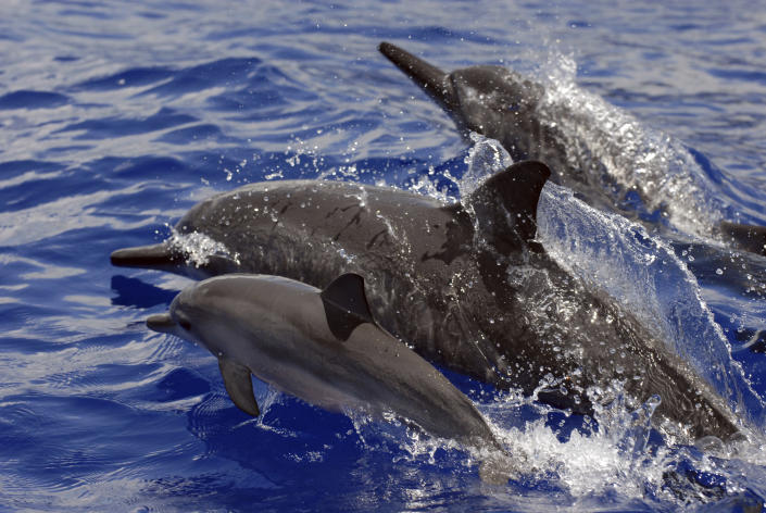 FILE - In this undated file photo provided by NOAA Fisheries, spinner dolphins swim in Hawaii. Federal regulators on Tuesday, Sept. 28, 2021, banned swimming with Hawaii's spinner dolphins to protect the nocturnal animals from people seeking close encounters with the playful species. Swimming with dolphins is a popular tourist activity in Hawaii. Several companies offer dolphin tours that take swimmers to areas frequented by dolphins with the aim of giving them an opportunity to get in the water with the animals. (NOAA Fisheries via AP, File)