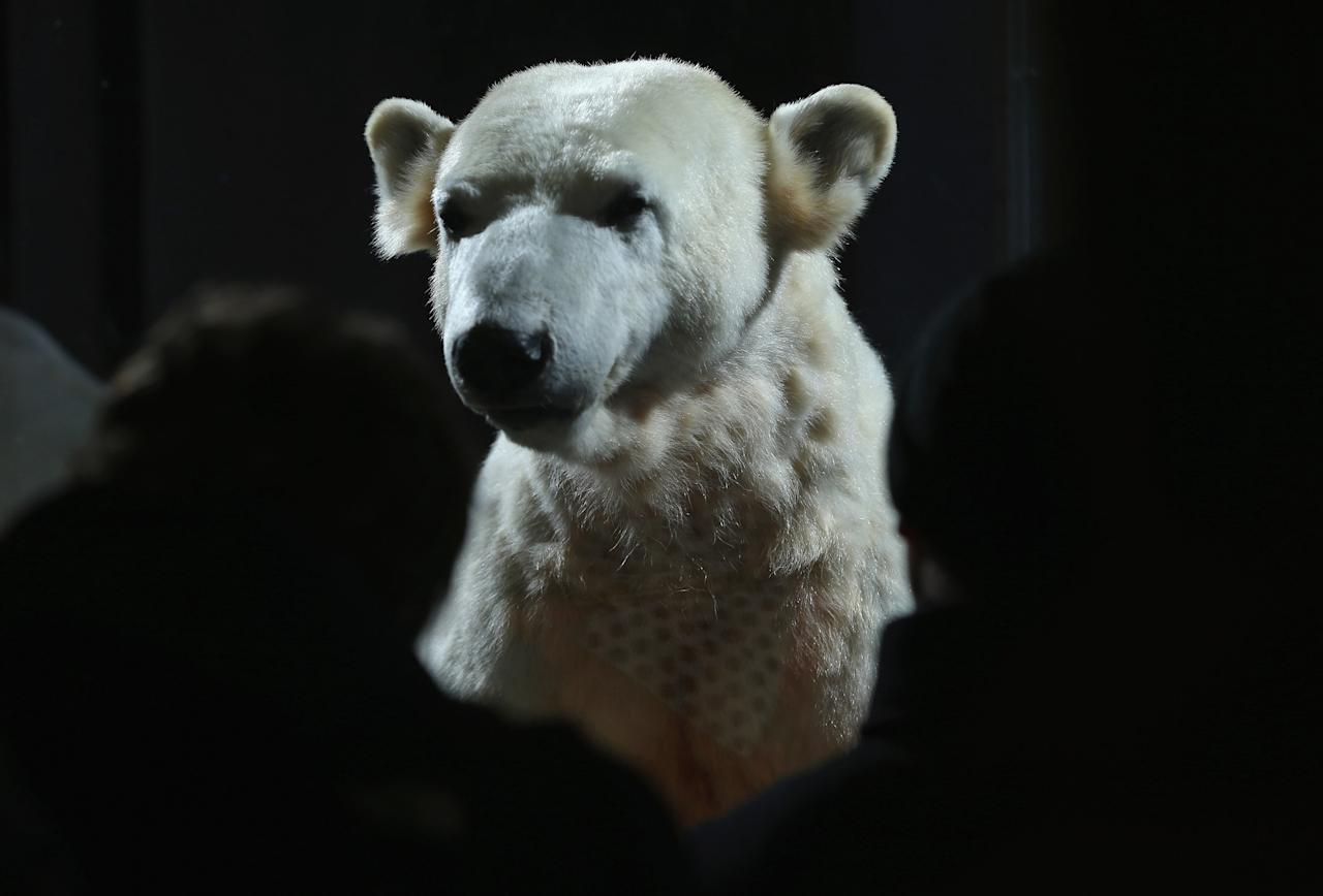 BERLIN, GERMANY - FEBRUARY 16:  Visitors look at a model of Knut the polar bear, that features Knut's original fur, on the first day it was displayed to the public at the Natural History Museum on February 16, 2013 in Berlin, Germany. Though Knut, the world-famous polar bear from the Berlin zoo abandoned by his mother and ultimately immortalized as a cartoon film character, stuffed toys, and more temporarily as a gummy bear, died two years ago, he will live on additionally as a partially-taxidermied specimen in the museum. Until March 15, the dermoplastic model of the bear will be on display before it joins the museum's archive, though visitors can see it once again as part of a permanent exhibition that begins in 2014.  (Photo by Sean Gallup/Getty Images)