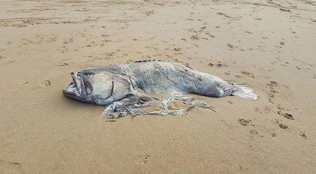A couple discovered this fish on Moore Park Beach, north of Bundaberg. Source: Riley Lindholm