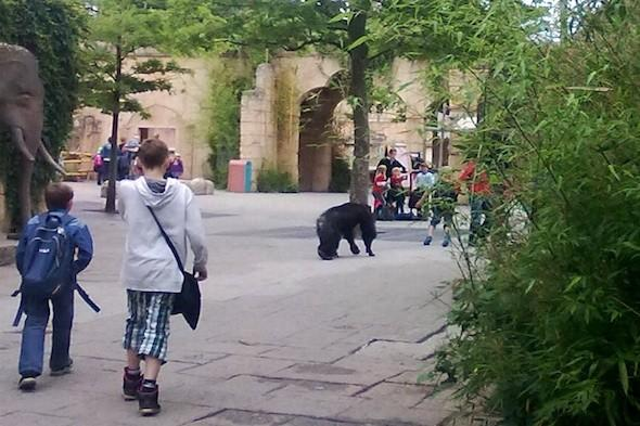 Chimps escape from Hanover Zoo in Germany