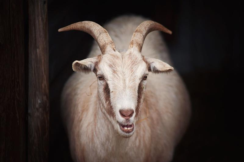 This is a picture of a pale brown goat. It has long horns and it is looking straight at the camera, against a dark background.