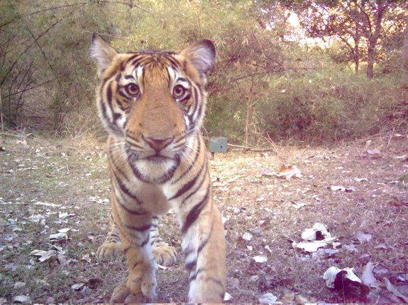 Camera Trap Snaps Curious Tiger Cub