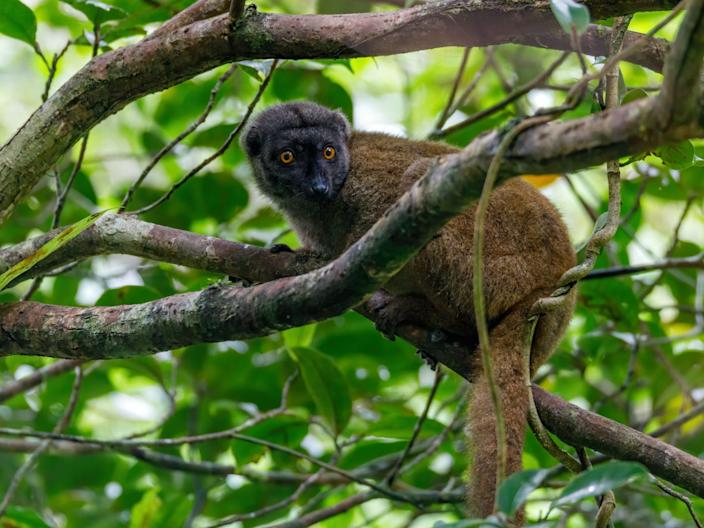 A lemur on a branch in Madagascar.