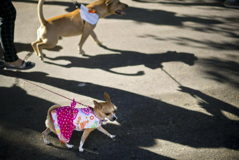 A dog in costume is lead on a leash during a march calling for an end to animal cruelty in Havana, Cuba, Sunday, April 7, 2019. Cuba's socialist government permitted the public march unassociated with any part of the all-encompassing Communist state, a move that some call highly unusual and perhaps unprecedented since the first years of the revolution. (AP Photo/Ramon Espinosa)