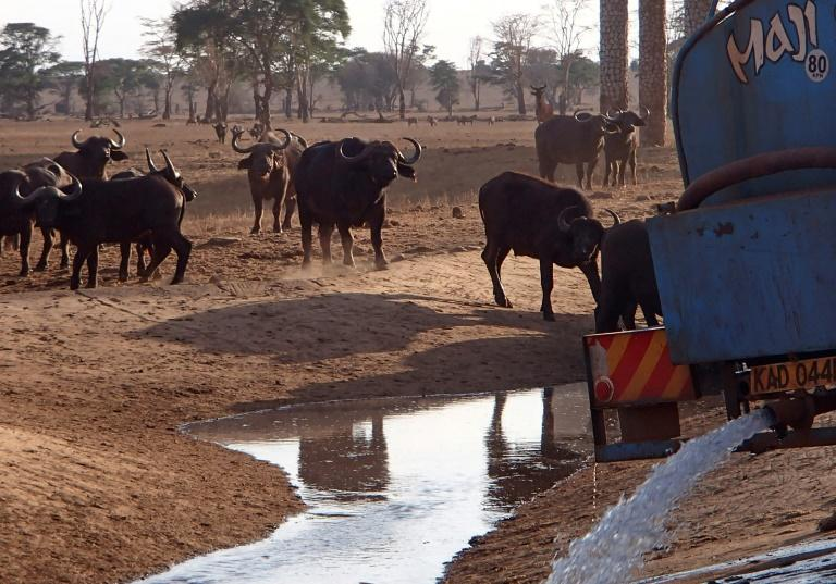 Herds of elephant, buffalo and zebra gather near dry water holes in Tsavo National Park, where for six months, pea farmer Patrick Mwalua has been delivering water to them in a rented blue truck