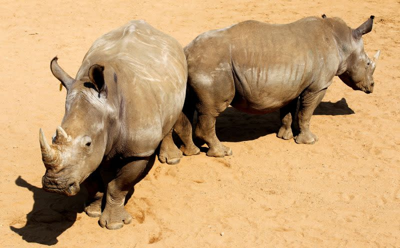 FILE PHOTO: A pair of White Rhinoceros await buyers in pens at the annual auction in the Hluhluwe-Imfolozi national park
