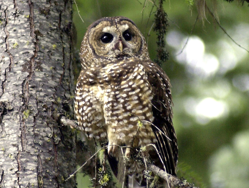 FILE - In this May 8, 2003, file photo, a northern spotted owl sits on a tree branch in the Deschutes National Forest near Camp Sherman, Ore. Environmental groups have filed a lawsuit seeking to preserve protections for 3.4 million acres of northern spotted owl habitat from the US-Canadian border to northern California. The U.S. Fish and Wildlife Service removed protections for the old-growth forest in the last days of the Trump administration. (AP Photo/Don Ryan, File)