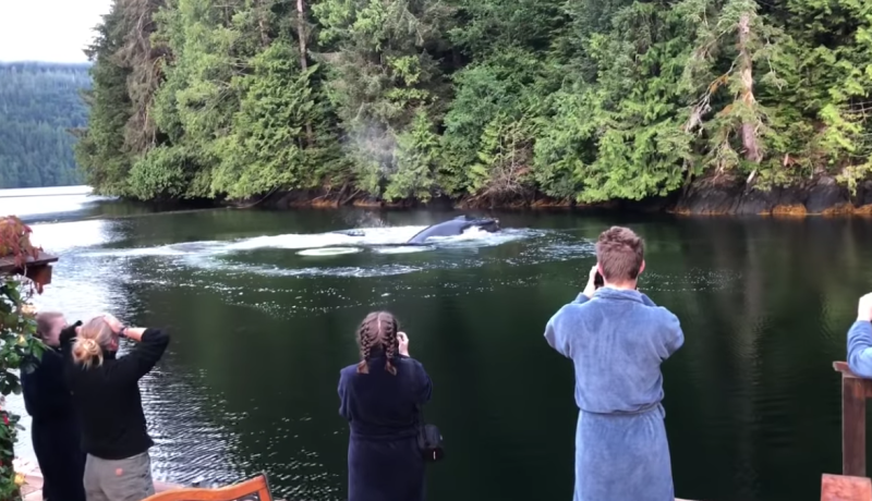 Tourists in British Columbia Canada were amazed by how close humpback whales came to them. Source: YouTube/GreatBearLodge