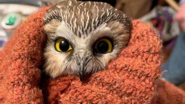 PHOTO: Rockefeller, a northern saw-whet owl, is pictured after being found and rescued in a Christmas tree in Rockefeller Center, in New York, Nov. 16, 2020. (Ravensbeard Wildlife Center via Reuters)