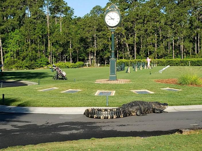 An estimated 10-foot-long alligator makes its way to the driving range at Long Cove Club on Hilton Head Island.