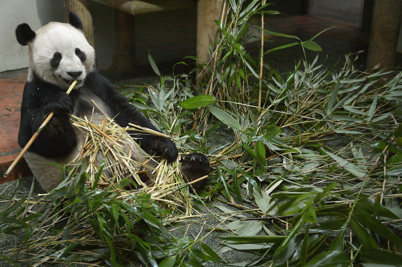 EDINBURGH, SCOTLAND - APRIL 10:  Yang Guang, the male Panda at Edinburgh Zoo, eats bamboo inside his enclosure on April 10, 2013 in Glasgow, Scotland. Zoo experts can now say that the giant pandas Tian Tian and Yang Guang are likely to meet for the breeding season imminently. The Royal Zoological Society of Scotland has announced that scientific testing has identified that female panda Tian Tian could possibly now be as little as 10 days away from her 36 hour fertile window. (Photo by Jeff J Mitchell/Getty Images)