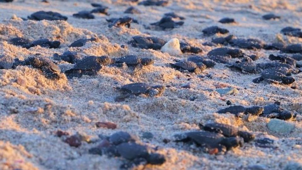 Olive ridley sea turtle hatchlings head to the water in the Sonora state, Mexico. Photo: 27 October 2020