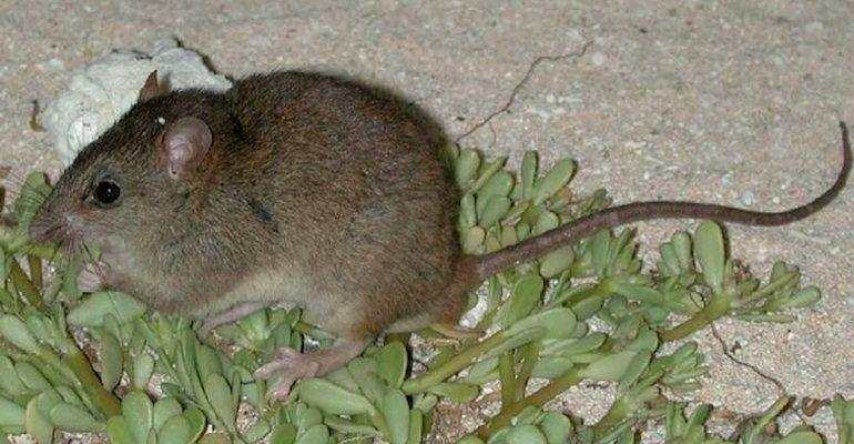 """The <a href=""""http://www.iucnredlist.org/details/13132/0"""" target=""""_blank"""">Bramble Cay melomys</a> had numbered in the hundreds in the 1980s but by the 2000s, its population had plummeted to under a dozen. The rodent was last spotted in 2009, and according to Hilton-Taylor, &ldquo;all attempts to find it since have failed.&rdquo; <br /> <br /> High tides and surging seawater, a result of rising temperatures, have been pinpointed as the cause of the melomys&rsquo; demise. The animal, Barnosky told The Guardian in June, is a &ldquo;cogent example of how climate change <a href=""""https://www.theguardian.com/environment/radical-conservation/2016/jun/29/bramble-cay-melomys-australia-extinction-climate-change-great-barrier-reef"""" target=""""_blank"""">provides the coup de gr&acirc;ce</a> to already critically endangered species.&rdquo; <br /><br /> Australian scientists said they had hoped to prevent the extinction of the melomys by starting a captive breeding program for the animal. <br /><br />By the time they launched a rescue mission to retrieve the creature, however, they discovered they were much too late. <br /><br /> &ldquo;My colleagues and I were devastated,&rdquo; Ian Gynther, a senior conservation officer in Queensland&rsquo;s Department of Environment and Heritage Protection, told The Guardian."""