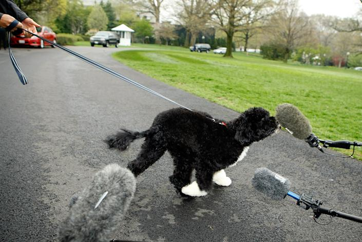 """""""No comment"""": U.S. President Barack Obama's new dog, a Portuguese water dog named Bo, sniffs a microphone during his introduction to the White House press corps on the South Lawn of the White House April 14, 2009 in Washington, DC. (Photo by Chip Somodevilla/Getty Images)"""