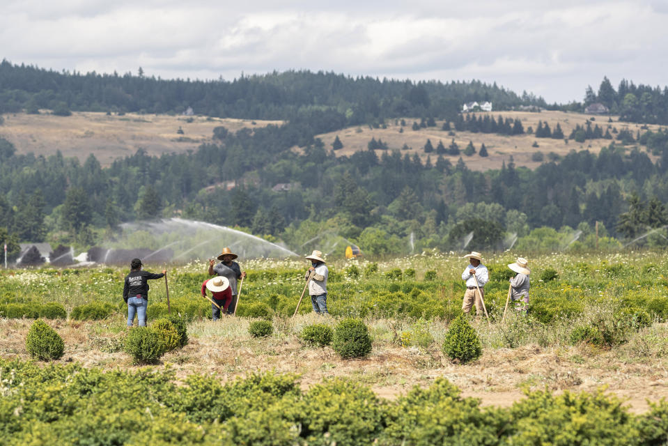 Farmworkers, who declined to give their names, break up ground, Thursday, July, 1, 2021, near St. Paul, Ore., as a heat wave bakes the Pacific Northwest in record-high temperatures. (AP Photo/Nathan Howard)