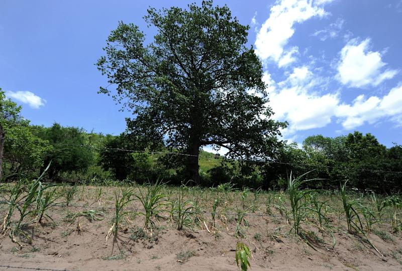 A drought-hit maize field in the municipality of Texiguat, about 100 km southeast of Tegucigalpa, Honduras is pictured on July 26, 2015 (AFP Photo/Orlando Sierra)