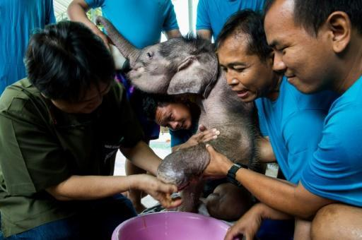Sky's the limit for Thai baby elephant swimming back to health