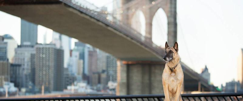 Dog Standing in Front of Brooklyn Bridge and NYC Skyline Horizontal