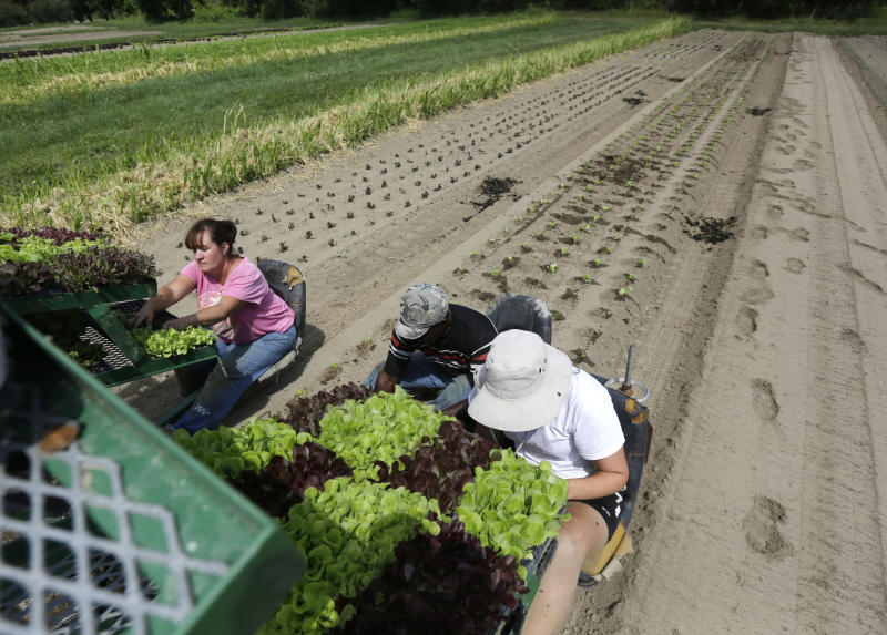 """From left, Julie Gardner, Walter Cameron and Lauren Ross-Hixson transplant lettuce in a field at Denison Farm in Schaghticoke, N.Y. on Monday, Aug. 12, 2013. Justine and Brian Denison adhere to all the growing practices required for organic certification, but if they label their beans and tomatoes """"organically grown,"""" they could face federal charges and $20,000 or more in fines. That's why they and hundreds of other small direct-marketing farms across the country have adopted an alternative label: Certified Naturally Grown. Certified farms pledge to follow organic practices, while avoiding the high fee and extensive paperwork required for the federal organic label. (AP Photo/Mike Groll)"""