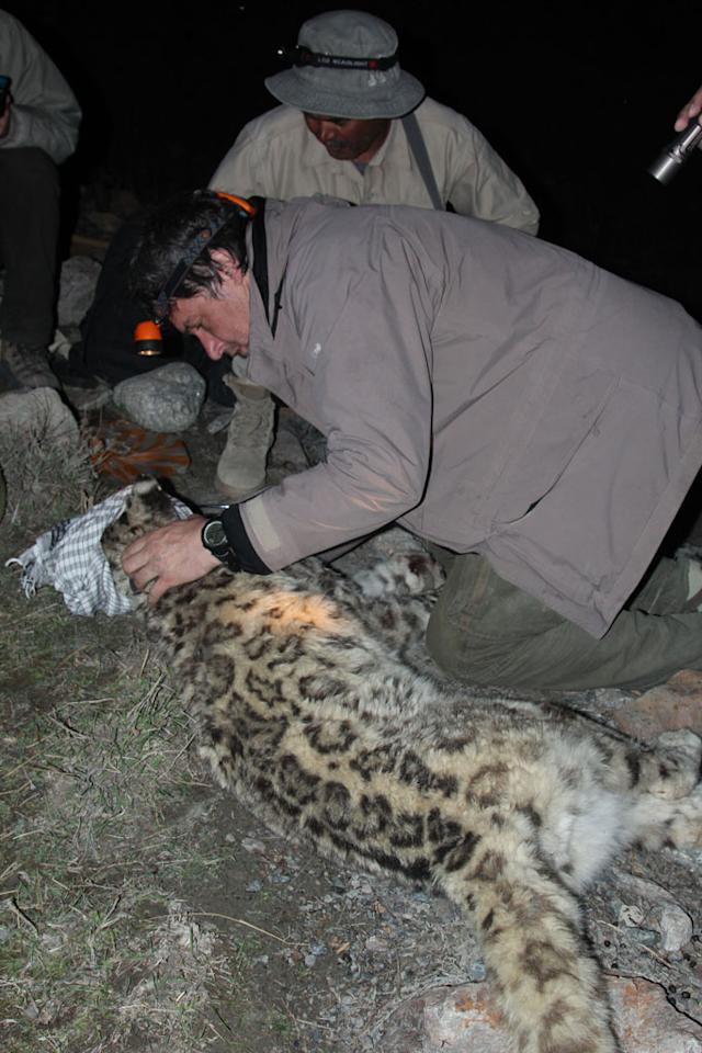 Wakhan Corridor, Afghanistan - Wildlife Veterinarian Stephane Ostrowski checks the tranquilized snow leopard's vitals.