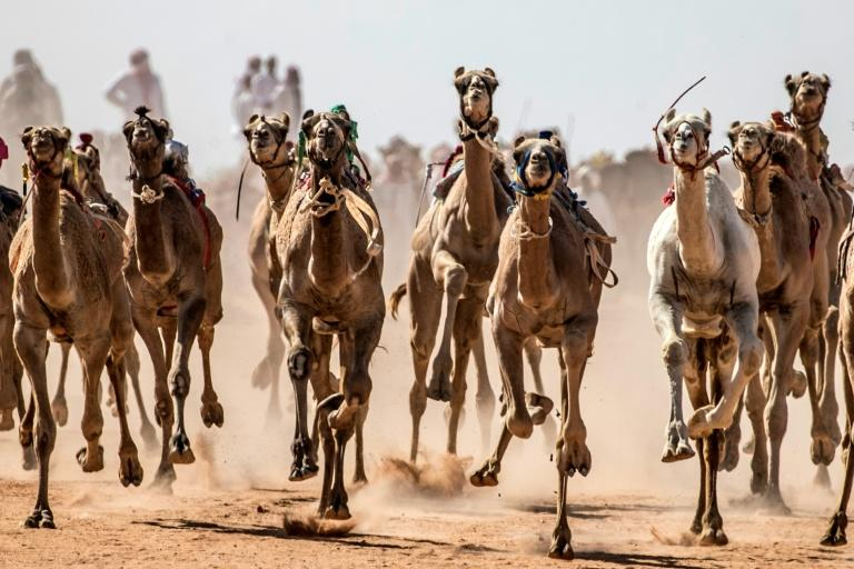 Camel racing storms back in Sinai after virus hiatus