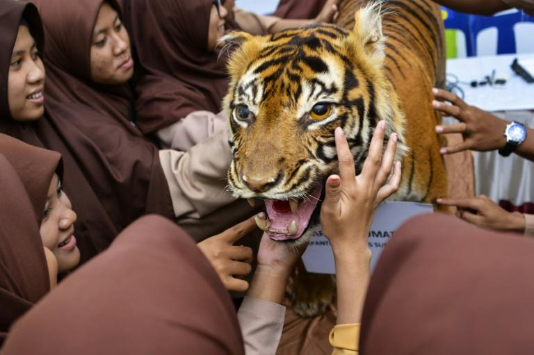 High school students in Indonesia play with a stuffed Sumatran tiger, used as a teaching aid to raise awareness of conservation issues