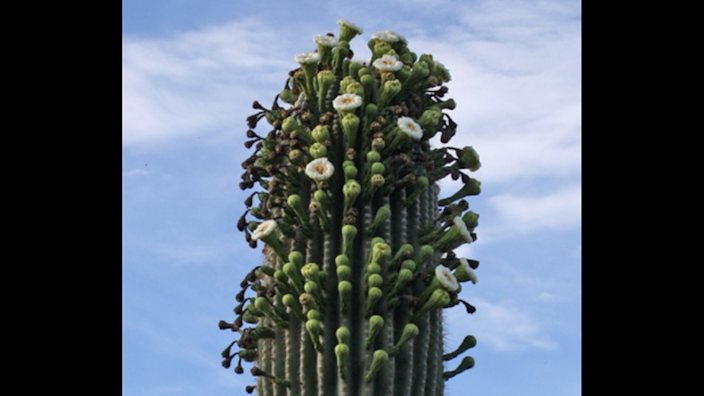 A rare phenomenon is unfolding in Arizona: Saguaros cacti, which live centuries, have erupted in blooms that are spreading across their bodies like a rash.