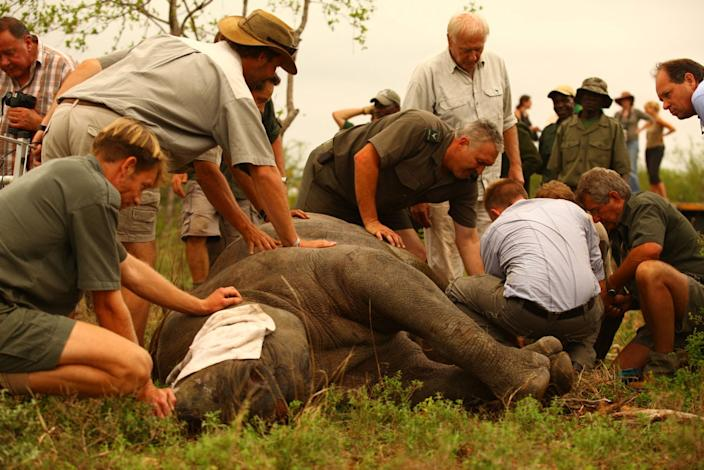 Dr Jacques Flamand of WWF's Black Rhino Range Expansion Project has just administered the antidote to wake up a black rhino which has just been released on to a new home after an epic 1500 kilometre journey. Photo courtesy of Green Rennaisance/WWF
