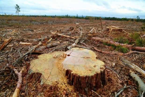 New Brunswick timberland owners were paid prices for sawlog quality trees cut by logging companies last December similar to 2016, even as lumber prices surged past $1,000 per 1,000 board feet. (Shane Fowler/CBC - image credit)