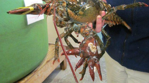 Lola's right side has a regular claw, whilst it's left side has a finger-like set of pincers. Photo: Maine State Aquarium