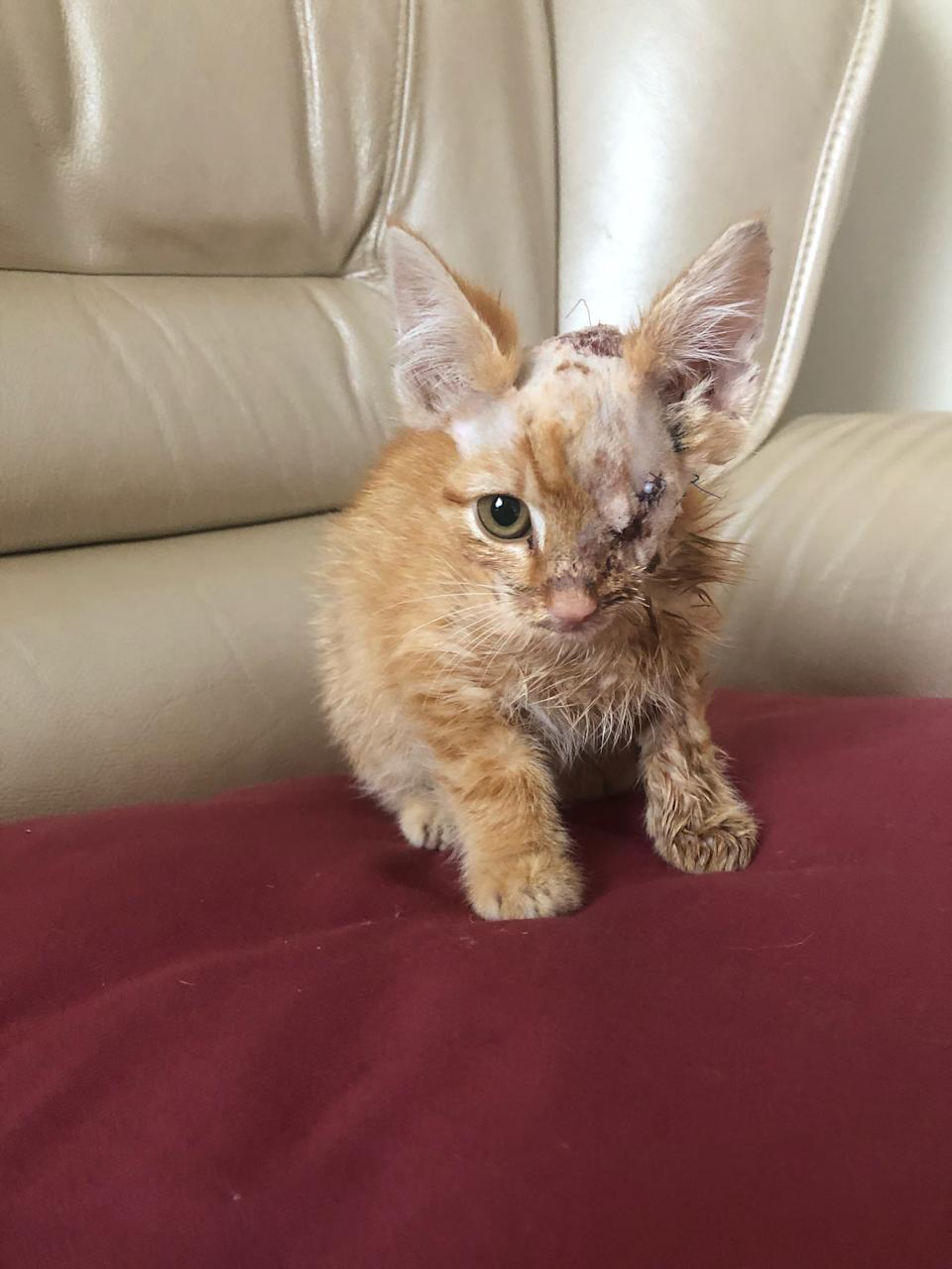 Pirate the kitten after surgery