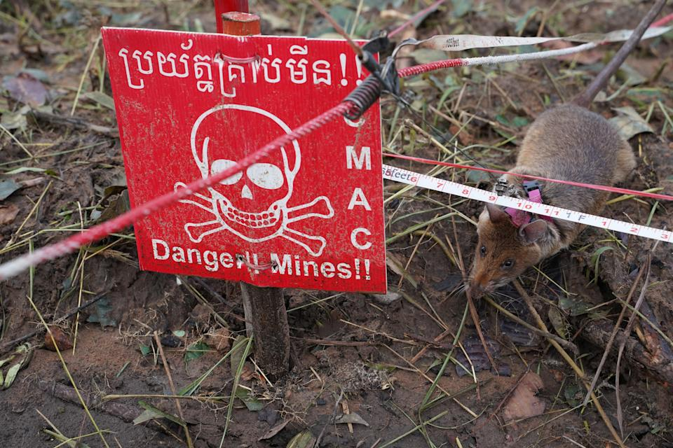 A mine detection rat sniffs for landmines in an area being demined in Preah Vihear province, Cambodia (REUTERS)