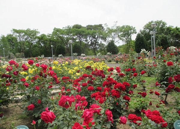▲20 meters from the windmill hill sits a beautiful rose garden (Best time to see roses in Osaka: May-June, October-November)