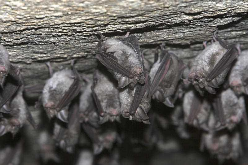 Horseshoe bats are pictured.