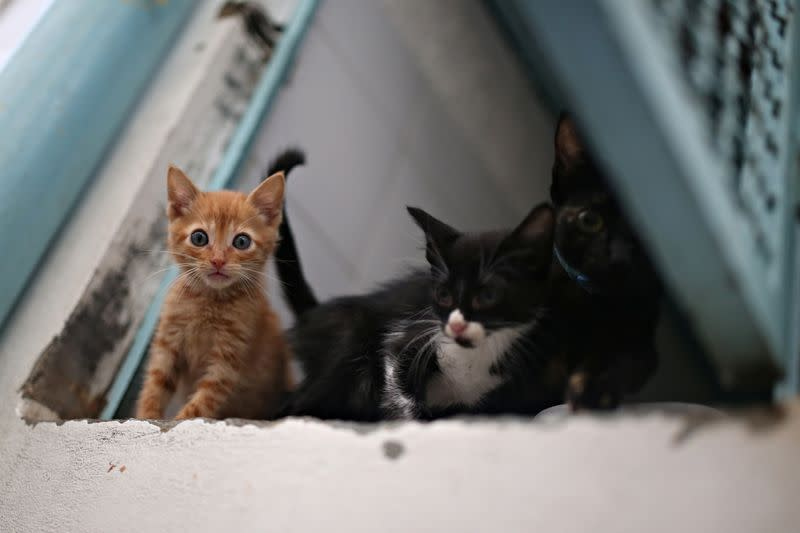 Cats that are under the care and protection of the Mayor's Animal Care Unit office are seen inside a cage at their facilities amid the coronavirus disease (COVID-19) outbreak in Bogota