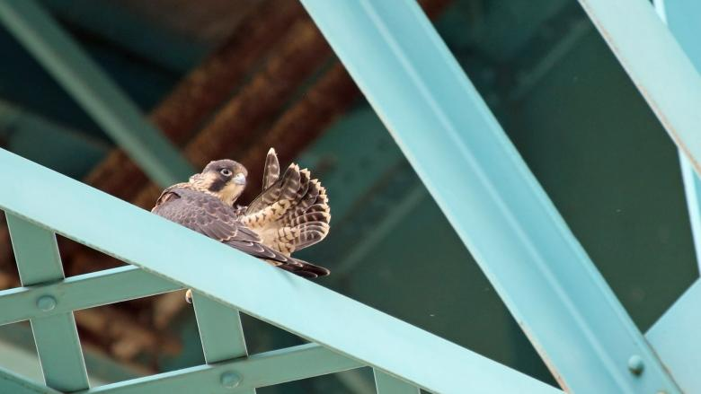 Windsor bird watcher wants peregrine falcons to stay on endangered list