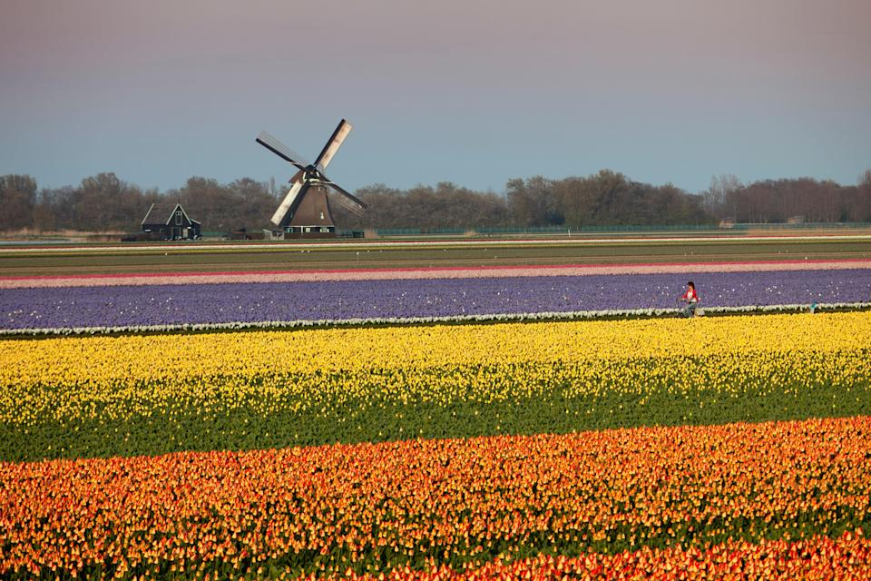 Person cycling through a tulip field in the Netherlands