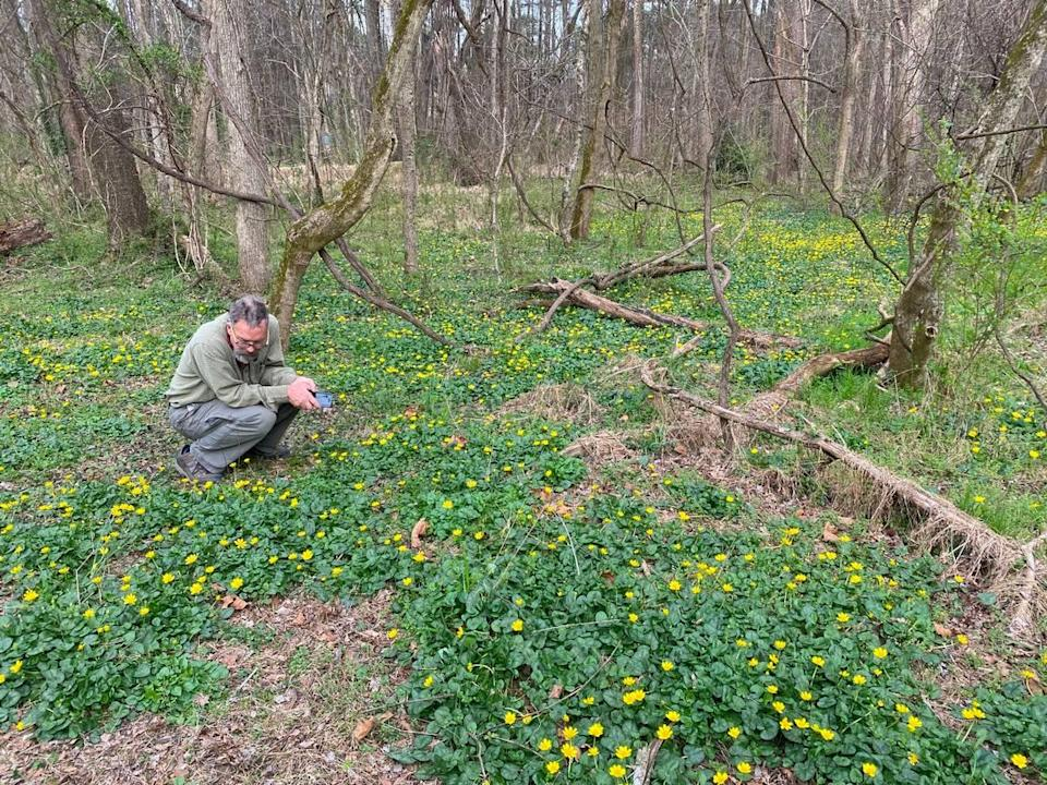 Johnny Randall squats in a patch of fig buttercup along Sandy Creek.